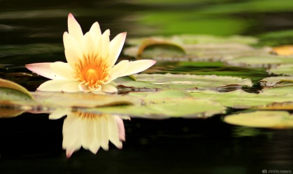 flower, lily pad, lake, NYC, central park