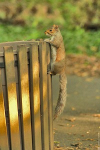 squirrel, trash bin, bon appetit, central park, NYC